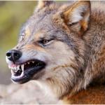 wolf-fletschend1