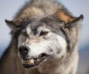 wolf-fletschend2